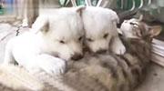 自从被两只狗发现自己有奶以后